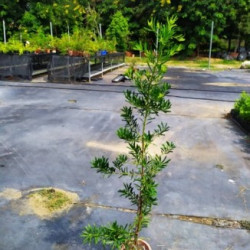 蘭嶼羅漢松(120-150公分)
