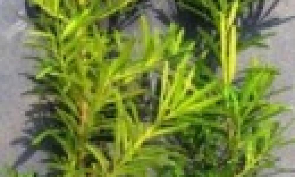 蘭嶼羅漢松(60-90公分)